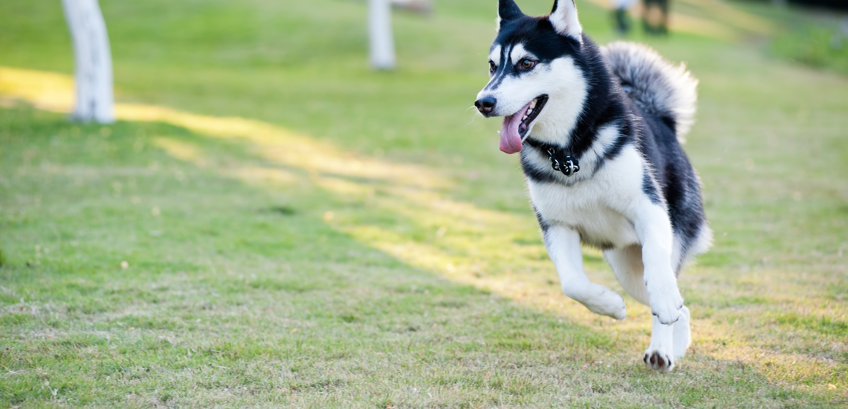 photodune-943742-alaskan-malamute-dog-running-m-wide